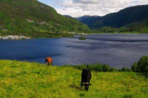 Kor vid fjord i Norge